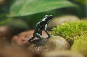 Dyeing Poison Frog 01 by dkbarto