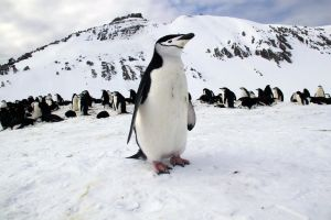 Penguin up close - Antarctica by ChronoGawd