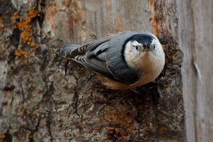 White-Breasted Nuthatch-Peekaboo by JestePhotography