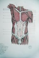 Muscles of torso, abdomen by reinisgailitis