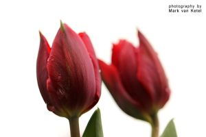 Tulipa III by blizzard2006