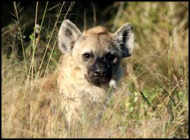 Hiding Hyena by mikewilson83