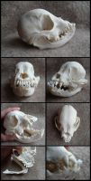 Juvenile French Bulldog Skull by CabinetCuriosities