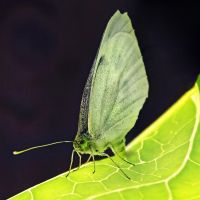 Cabbage White by Coigach