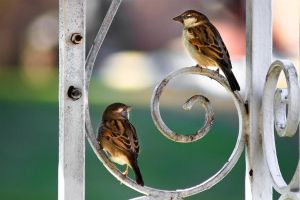House Sparrows by j0s2m21