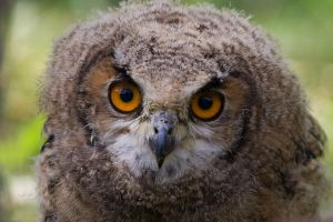 Owl chick by MvanMelsen