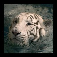 tigre2 by thescal