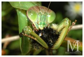 Praying Mantis Feeding by microcosmos
