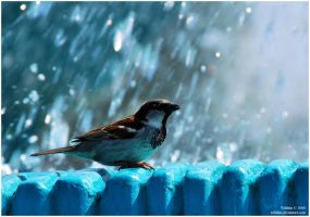 sparrow in blue by Wilithin