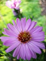 rosy aster with morning dew by ilura-menday-less