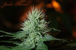 Jack Herer by 420Imaging