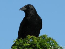 Quiet carrion crow by Momotte2