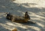 Patagonian Cavy 2 by Lcutter