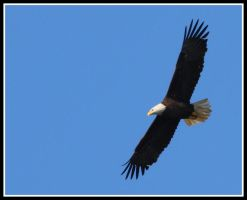 Bald Eagle by JAHarrell