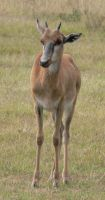 Bontebok Calf by Confussed-Stock