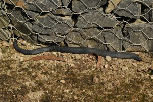 Red bellied black snake 1 by wildplaces