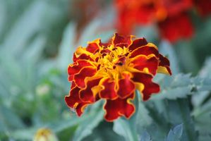 Vibrant Marigold 3 by hollygalah