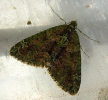Red Green Carpet Moth at Front Door by SrTw
