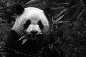 Panda by stinebamse