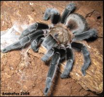 Native Texan Aphonopelma hentz by Snakefox