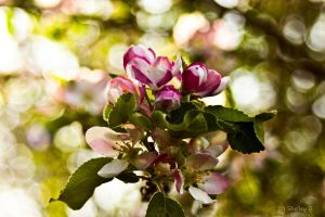 Apple Blossom 2 by dragongoddess62