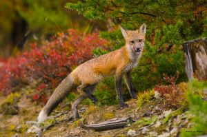 Red Fox by Les-Piccolo
