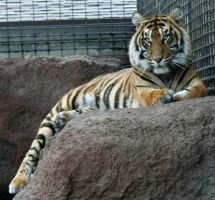 Gage Park Zoo 20 - Tiger by Falln-Stock