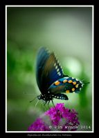 Spicebush Swallowtail In Motion by PixelBlender