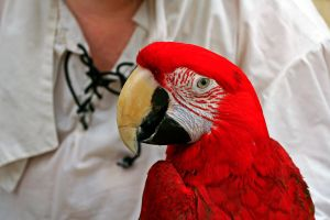 Pirate's Parrot by rdswords