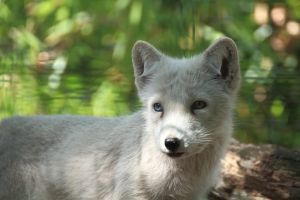 Arctic fox by LoByteSo