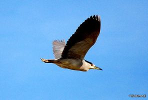 Night Heron? by tso2me