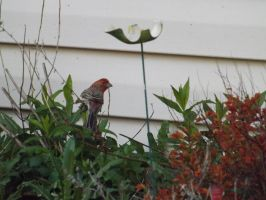 Finch In the Garden by knsmith0110