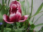 Morning Bloom by DeasignPhotography