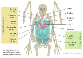 Anatomy of the Respiratory System by squidlifecrisis