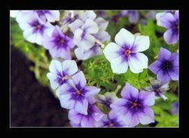 Purple Phlox by lovingenglish