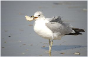 Herring Gull with a treat by pewter2k