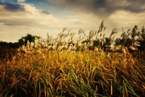 Reeds in the autumn wind by sunny2011bj