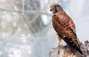 Common Kestrel I by OrangeRoom