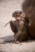 Baby Baboon by cRomoZone