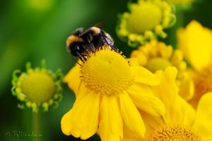 Busy Bee by Talkingdrum