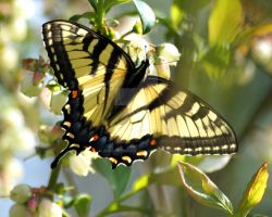 Tiger Swallowtail 09 by GhostInThePines
