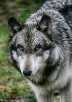 wet wolf portrait by Yair-Leibovich
