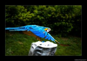 Blue And Yellow Macaw by AmbientExposures