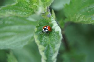 coccinelle sur une ortie 2 by Tommylee31
