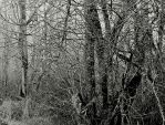 A barren wood... by thewolfcreek