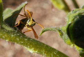 Wasp by Bimmi1111