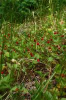 Wild strawberries by CAStock