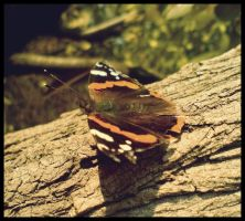 The Red Admiral by DeToxXGraff