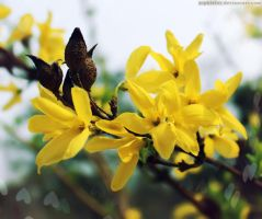 Jasminum nudiflorum by Sophie-Y