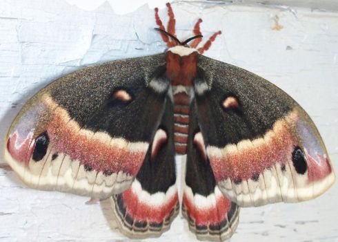 Red Moth Back by Penny-Stock